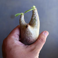 パキポディウム グラキリス 抜苗  Pachypodium rosulatum var. gracilius no.100619