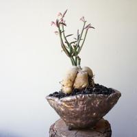 モナデニウム    モンタナム   ルベルム   no.001  Monadenium montanum var. rubellum