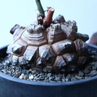ディオスコレア   亀甲竜    Dioscorea elephantipe     no.91504