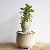 パキポディウム  サンデルシー   no.007  Pachypodium saundersii
