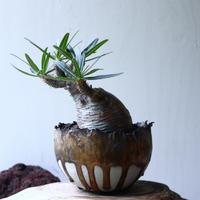 パキポディウム グラキリス Pachypodium rosulatum var. gracilius no.71409