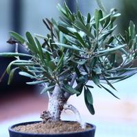 オリーブ Olea europaea  no.120667