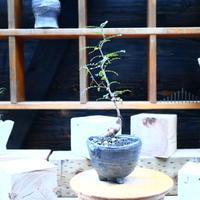 オペルクリカリア  パキプス 実生/Operculicarya  pachypus  no.72523