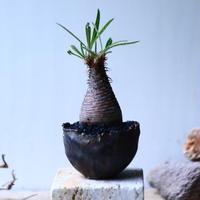 パキポディウム グラキリス   Pachypodium rosulatum var. gracilius no.92734-2