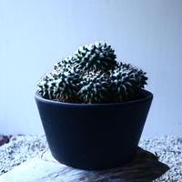 マミラリア ブカレンシス Mammillaria bucareliensis no.121524
