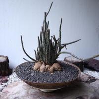 プテロカクタス ツベローサス   黒竜     Pterocactus tuberosus   no.112403