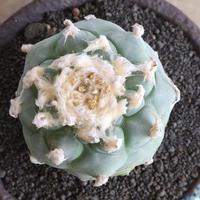 ロフォフォラ   ディフューザー  no.001   翠冠玉    Lophophora diffusa