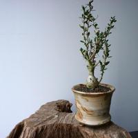 フォークイエリア  コルムナリス  観峰玉 Fouquieria columnari   No.016