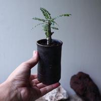 ボスウェリア  ネグレクタ  実生  Boswellia neglecta no.90115