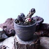 ハオルチア  鷹の爪    Haworthia reinwardtii    no.22318