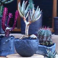 アロエ   ラモシシマ    Aloe ramosissima      no.32128