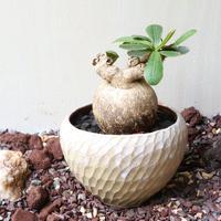ユーフォルビア   スバポダ no.002   Euphorbia subapoda