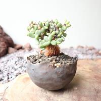 ケラリア  ピグマエア  no.015  Ceraria pygmaea