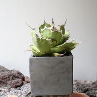 アガベ チタノタ   no.003   agave titanota