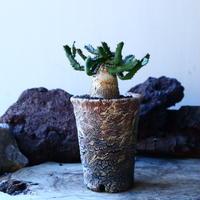 ユーフォルビア  飛竜   スクアローサ   Euphorbia  squarrosa  no.30114