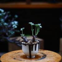 ペラルゴニム  ミラビレ/Pelargonium mirabile   no.91917