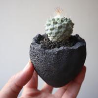 ストロンボカクタス  ディシフォルミス   菊水  no.008   Strombocactus disciformis