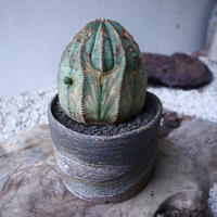 ユーフォルビア  オベサ    Euphorbia obesa  no.112416