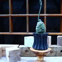 アデニア グロボーサ/Adenia globosa   no.72503