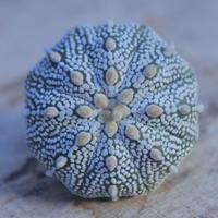 アストロフィツム   スーパー兜 抜き苗  Astrophytum asterias 'Super Kabuto'      no.207/15