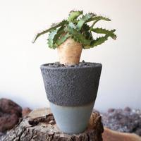 ユーフォルビア ステラータ   no.009   Euphorbia stellata
