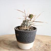 テフロカクタス    グロメラータス    姫武蔵野   no.004     Tephrocactus glomeratus