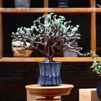 ペラルゴニム  ミラビレ/Pelargonium mirabile   no.91929