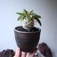 パキポディウム   ナマクアナム  光堂  Pachypodium namaquanum  no.91525