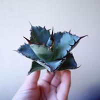 アガベ   チタノタ ブラック&ブルー  Agave titanota black&bule    no.111008