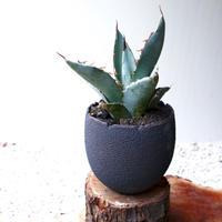 アガベ チタノタ(ランチョタンバー)   no.002   agave titanota