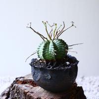ユーフォルビア  バリダ    Euphorbia valida   no.72912