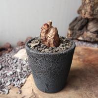 ペラルゴニウム  トリステ  no.006    Pelargonium triste