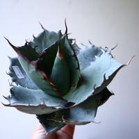 アガベ   チタノタ 〝アイス ブルー〟 Agave  titanota  ice blue   no.42820