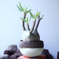 パキポディウム グラキリス   Pachypodium rosulatum var. gracilius no.53110