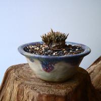アボニア クイナリア  アルストニー       Avonia  quinaria  ssp. alstonii  No.005