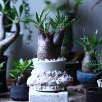 パキポディウム グラキリス   Pachypodium rosulatum var. gracilius no.71907
