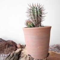 ユーフォルビア  ホリダ  no.012   Euphorbia  horrida