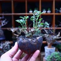 ペラルゴニウム  クリズミフォリウム/Pelargonium crithmifolium    no.53012