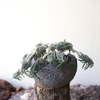 ユーフォルビア キリンドフォリア no.006   Euphorbia cylindrifolia