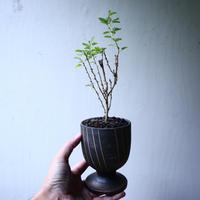 アカシア   トルティリス       Acacia tortilis      no.102715