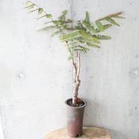 コルヴィレア  ラケモサ     no.001    Colvillea  racemosa