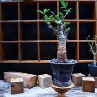 バオバブ/Baobab    no.90525