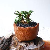 ユーフォルビア デカリー   no.007   Euphorbia decaryi