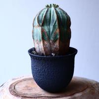 ユーフォルビア  オベサ   Euphorbia obesa   no.20316