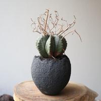 ユーフォルビア  バリダ   no.035  Euphorbia valida