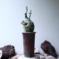 アデニア  グロボーサ      Adenia globosa       no.90813