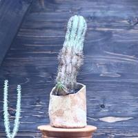 ユーフォルビア  ホリダ     Euphorbia  horrida     no.30730