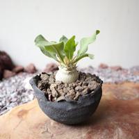 パキポディウム   ナマクアナム       光堂   no.006   Pachypodium namaquanum