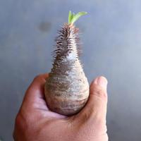 パキポディウム グラキリス 抜苗  Pachypodium rosulatum var. gracilius no.100611