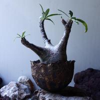 パキポディウム グラキリス Pachypodium rosulatum var. gracilius no.61611